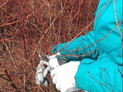Обрезка веток кустов голубики в Польше