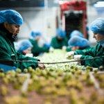 Сортировщик овощей и цветочных луковиц, SpringFresh работа в Польше