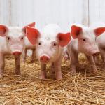 Работник на свиноферме, AGRIFARM