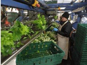 Упаковка, сортировка, чистка овощей, AGROS