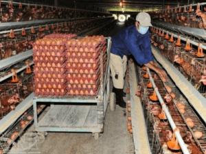 Работа на ферме в курятниках, Ami Ferma