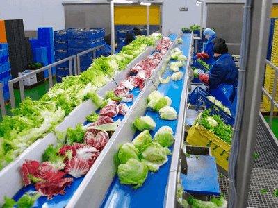 Переробка зелені (салат, шпинат), GREEN FACTORY